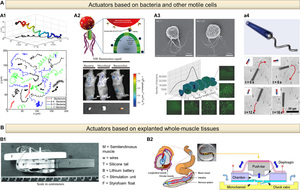 Biohybrid actuators for robotics: A review of devices actuated by living cells