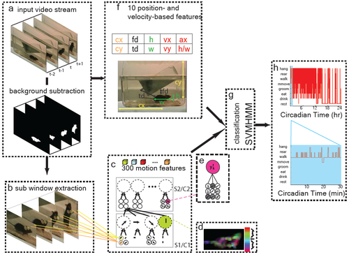 Automatic recognition of rodent behavior: A tool for systematic phenotypic analysis