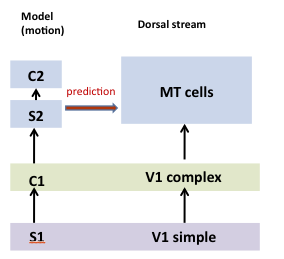 Computational Mechanisms for the motion processing in visual area MT